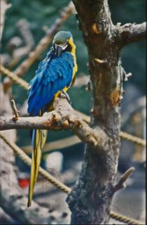 blue-and-yellow-parakeet_19-111962